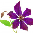 Beautiful violet flower isolated on whit - Zdjęcie stockowe