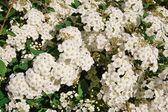 白い春の花 — ストック写真