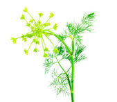 Green fennel leaf isolated on white back — Stock Photo