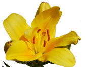 Yellow lily isolated on white background — Stock Photo