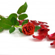 Red rose on the white — Stock Photo #1434608