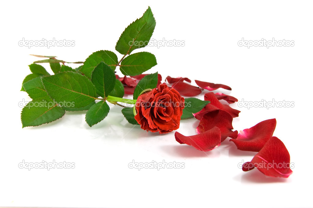   Red rose on the white  Stock Photo #1434608
