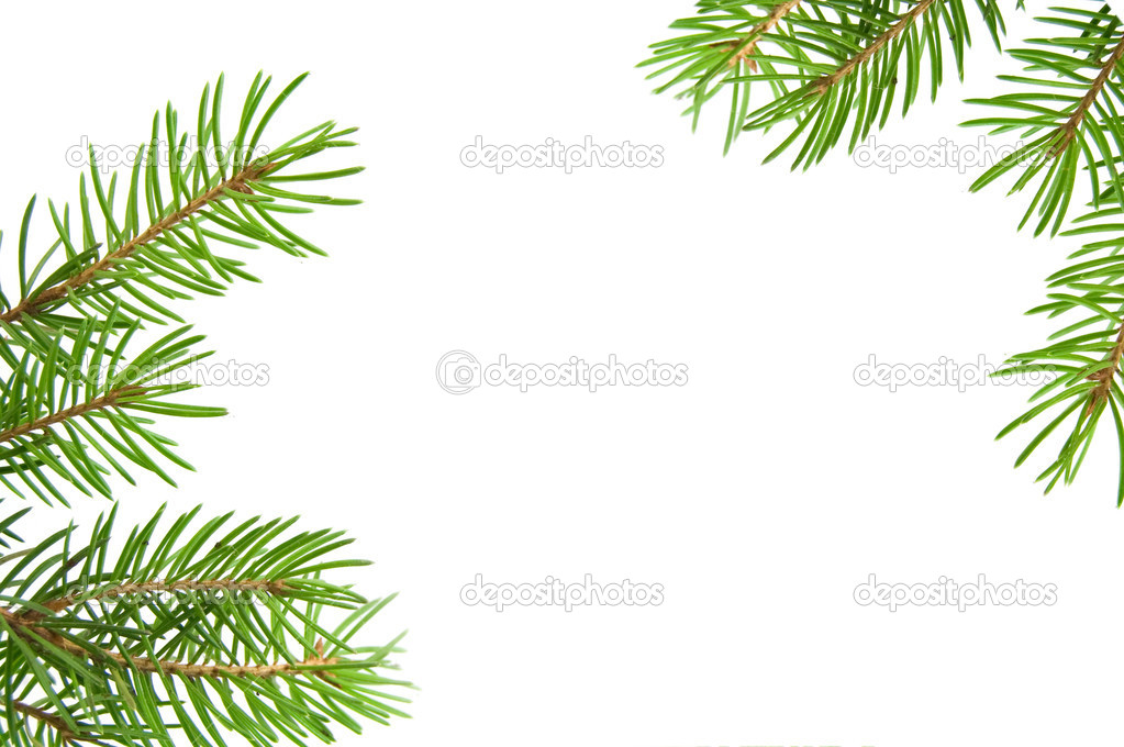 Pine tree branch isolated on white backgrond  Stock Photo #1435036