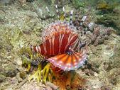 Zebra lionfish — Stock Photo