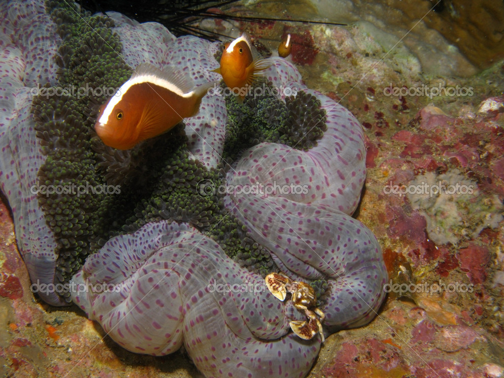 Anemonefish and crab on coral reef in South China Sea (Vietnam).