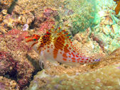 Dwarf hawkfish — Stock Photo