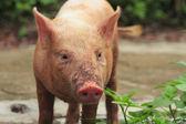 Pig — Stock Photo