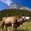 Cow in alpine landscape — Stock Photo #1234941