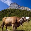 Cow in alpine landscape — Stock Photo