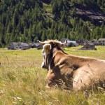 Alpe Veglia mountain pasture — Stock Photo #1254273