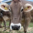 Muzzle cow — Stock Photo
