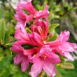 Pink Rododendron shrub — Stock Photo