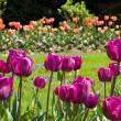Violet tulips in a garden — Stock Photo