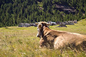 Alpe Veglia mountain pasture — Stock Photo