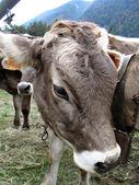 Shy cow — Stock Photo