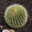 Barrel cactus — Stock Photo