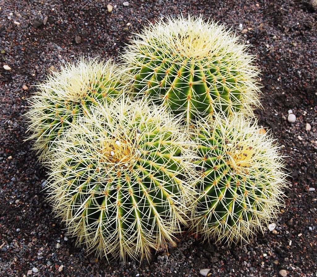 Closeup of Barrel cactus in Botanical gardens  — Foto de Stock   #1251423