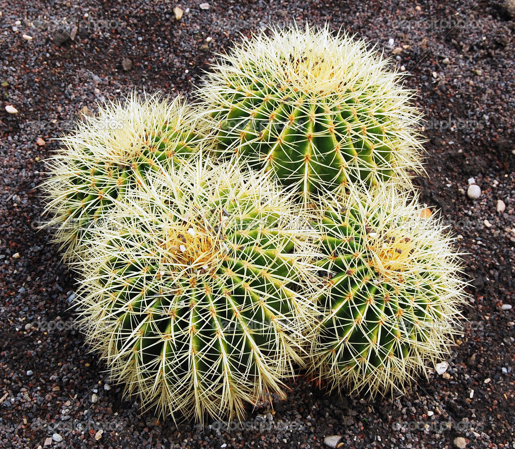 Closeup of Barrel cactus in Botanical gardens  — Стоковая фотография #1251423