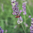 Lavender and Bee — Stock Photo
