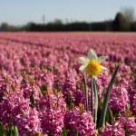 Daffodil in purple hyacinth field — Stock Photo