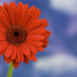 Beautiful red daisy against sky — Stock Photo #1254867
