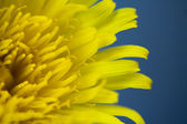 Bright dandelion flower — Stock Photo