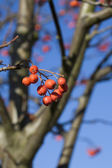 red berries of rowanberry on background blue sky — Stock Photo