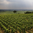 Vineyard in Burgundy — Stock Photo #1263245