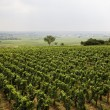 Vineyard in Burgundy — Stock Photo #1263254