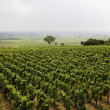 Royalty-Free Stock Photo: Vineyard in Burgundy