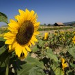 Stock Photo: Summer field of sunflowers