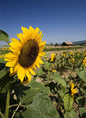 Summer field of sunflowers — Stock Photo