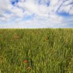Wheat field — Stock Photo #1364428