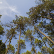 TALL PINE FOREST — Stockfoto