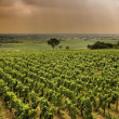 Vineyard in Burgundy - Stock Photo