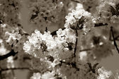 Cherry tree branch in bloom. Sepia — Stock Photo