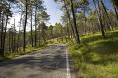 Beautiful pine forest — Stock Photo