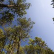 Stock Photo: TALL PINE FOREST