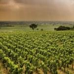 Vineyard in Burgundy — Stock Photo #1443156