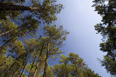TALL PINE FOREST — Stock Photo