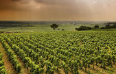Vineyard in Burgundy — Stock Photo