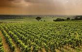 Vineyard in Burgundy — Stock Photo