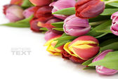 Fresh tulips — Foto Stock