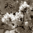 Royalty-Free Stock Photo: Cherry tree branch in bloom. Sepia