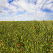Wheat field — Stock Photo #1571290