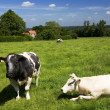 Grazing cows — Stock Photo #1571292