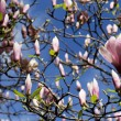 Stock Photo: BOUNTIFUL BEAUTIFUL MAGNOLIAS