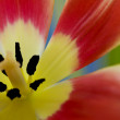 Close up of beautiful tulip — Stock Photo