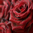 Macro image of dark red roses — Stock Photo #1703643