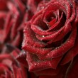 Macro image of dark red roses — Stock Photo